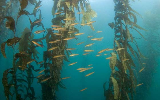 Finding Protection In Giant Kelp